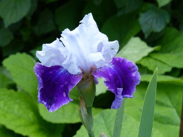 Iris 'Gay Parasol'