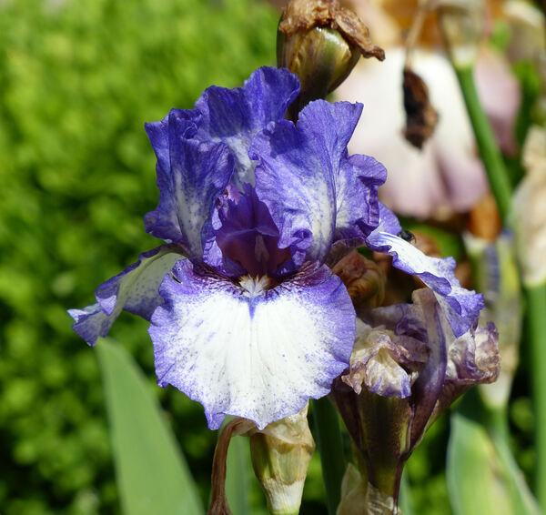 Iris 'Sans Papiers'