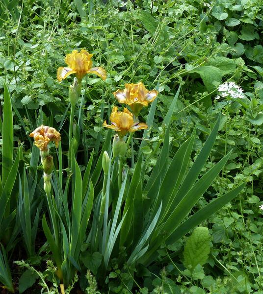 Iris 'Stinger'