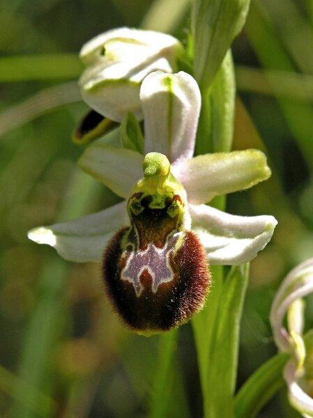 Ophrys exaltata Ten. subsp. splendida (Gölz & H.R.Reinhard) Soca