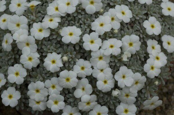 Androsace argentea (C.F.Gaertn.) Lapeyr.