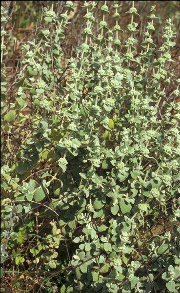 Pseudodictamnus mediterraneus Salmaki & Siadati subsp. mediterraneus