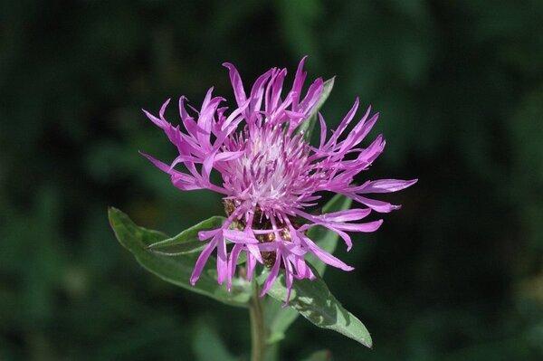 Centaurea jacea L. subsp. jacea