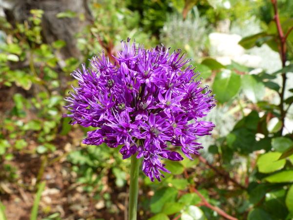 Allium hollandicum hort.