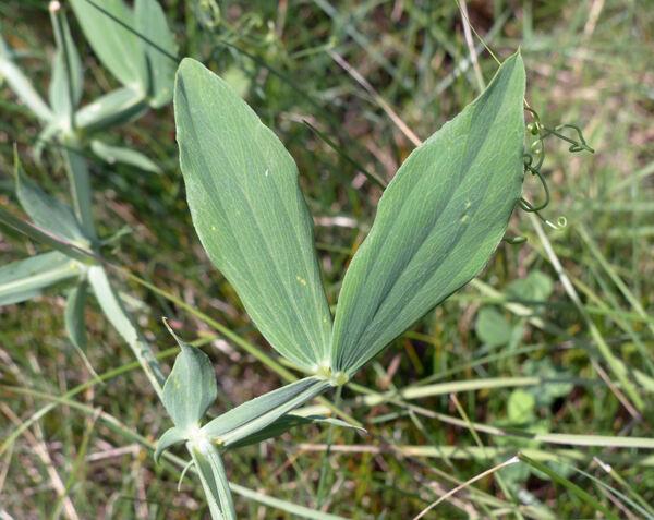 Lathyrus latifolius L.