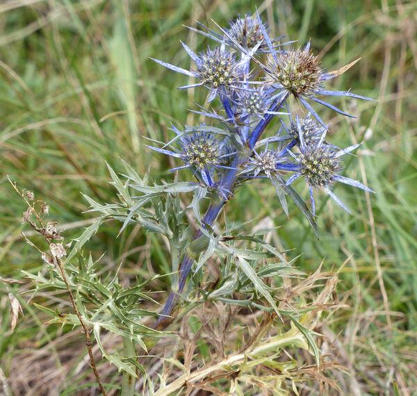 Eryngium amethystinum L.