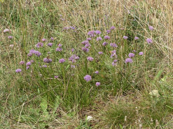 Allium lusitanicum Lam.