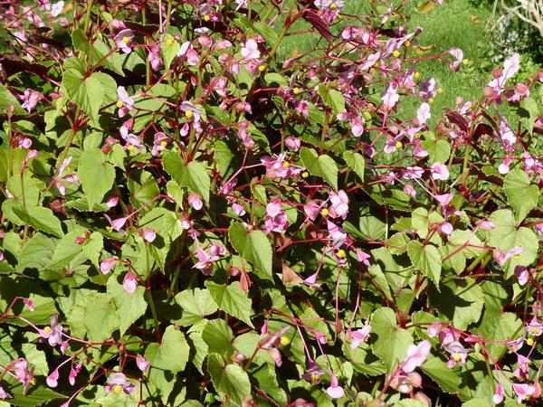 Begonia grandis Dryand. subsp. grandis