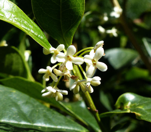 Osmanthus fragrans Lour.