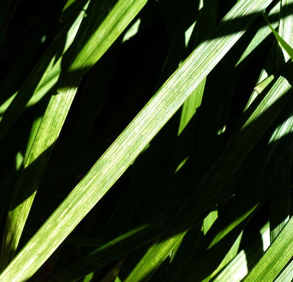 Liriope muscari (Decne.) L.H.Bailey