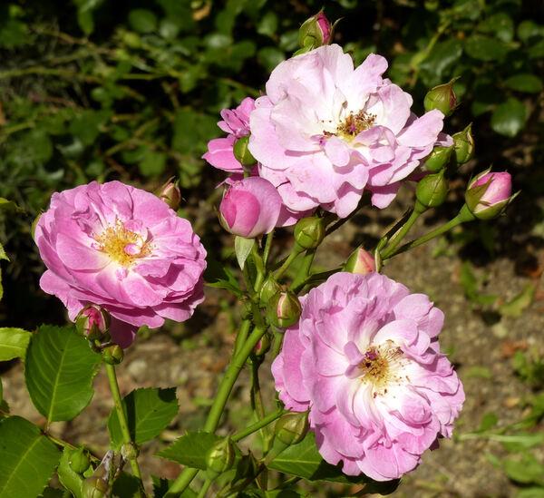Rosa 'Lavender Lassie'