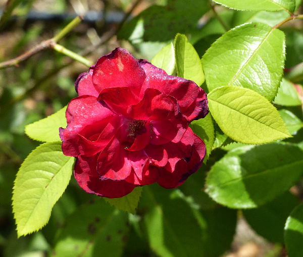 Rosa 'Autumn Fire'