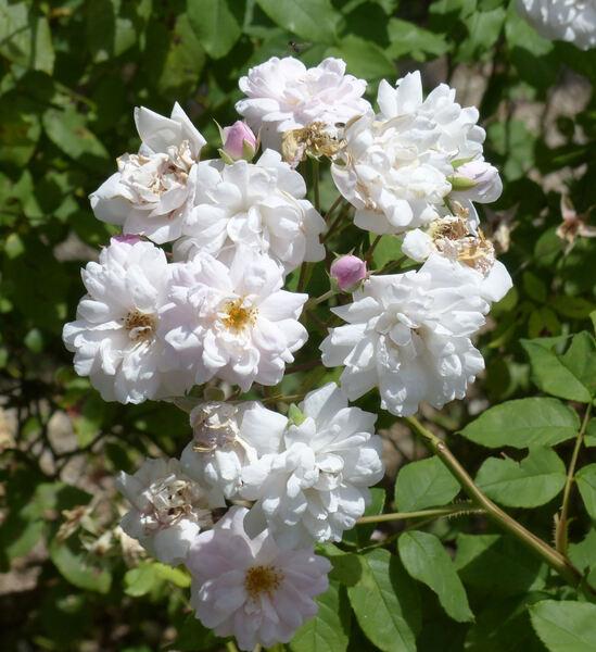 Rosa 'Blush Noisette'