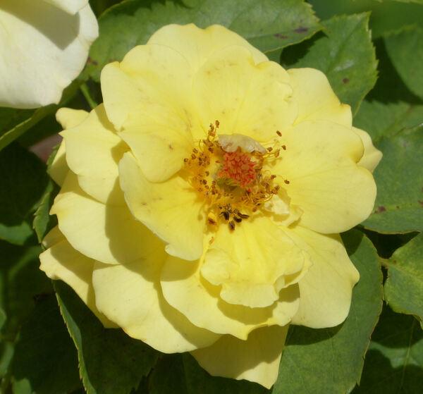 Rosa 'Goldstern'