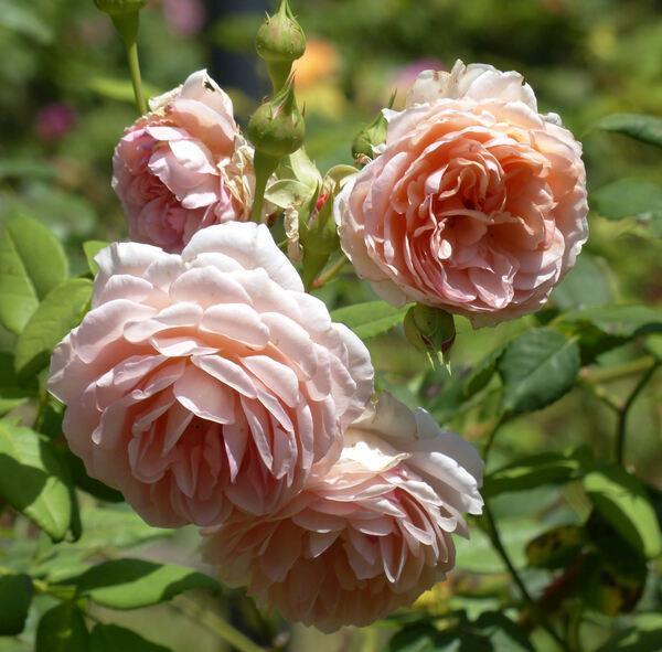 Rosa 'William Morris ®'