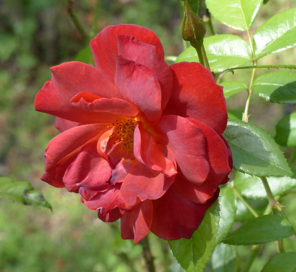 Rosa 'Hot Cocoa ™'
