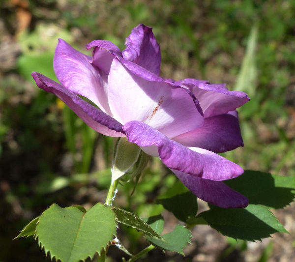 Rosa 'Blue For You'