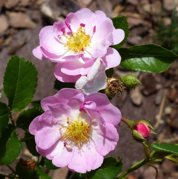 Rosa 'Nozomi'