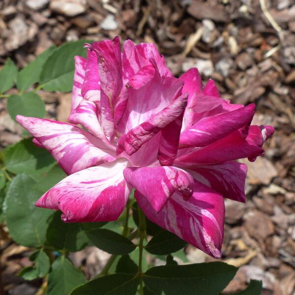 Rosa 'Steffi'