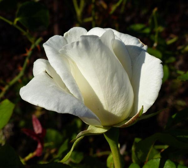 Rosa 'Pôle Nord'