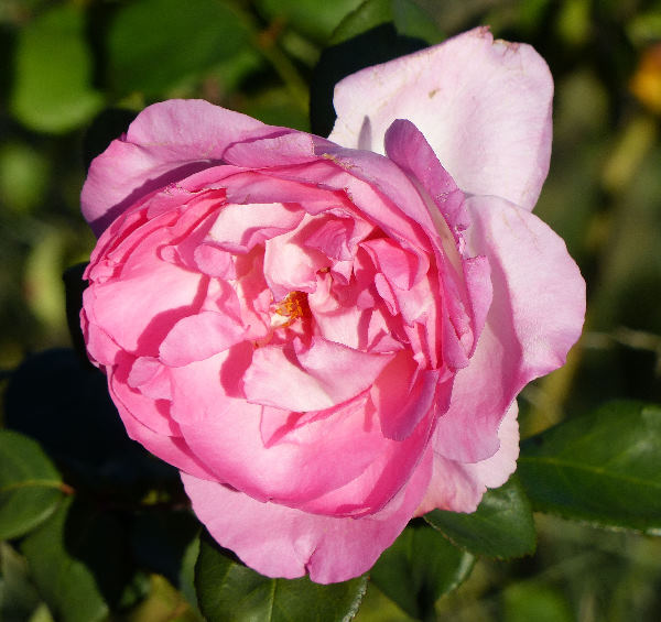 Rosa 'Beverly ®'