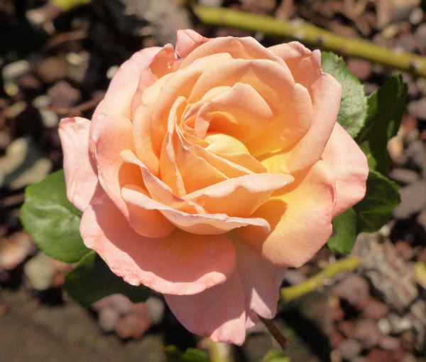 Rosa 'Bloom of Ruth'