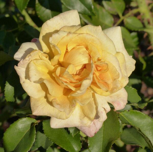Rosa 'Sunny Sky ®'