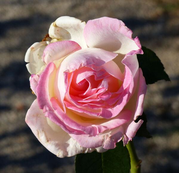 Rosa 'Princesse de Monaco ®'