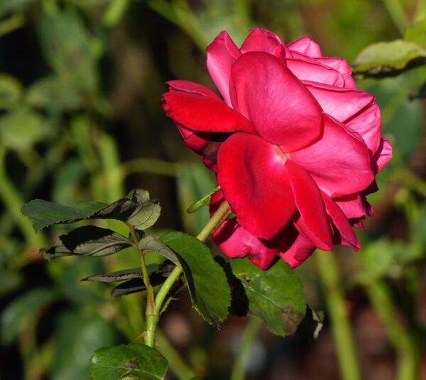 Rosa 'Samantha ®'