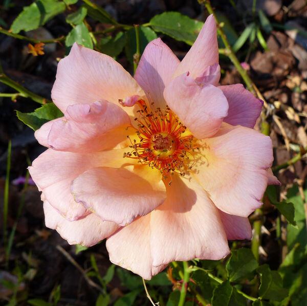 Rosa 'Florentia'