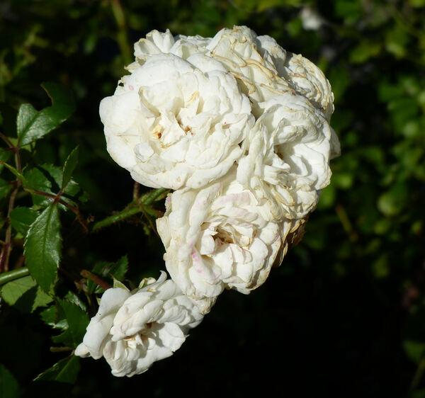 Rosa 'White Fairy'