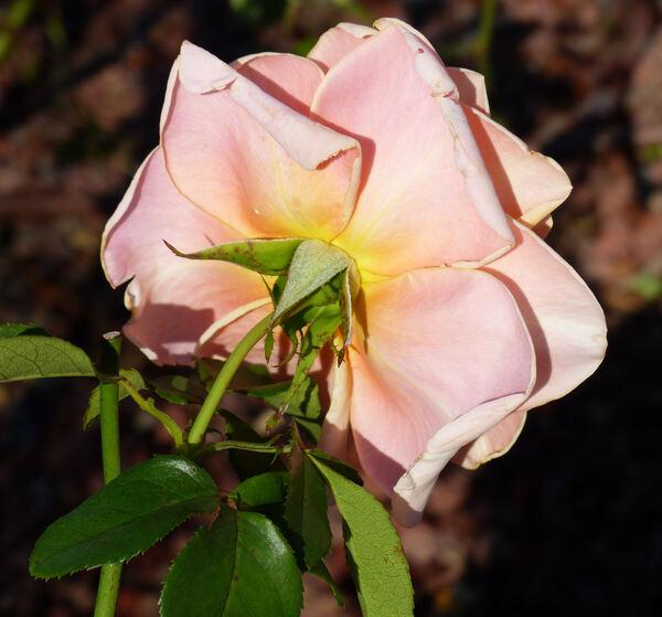 Rosa 'Paul Ricard ®'