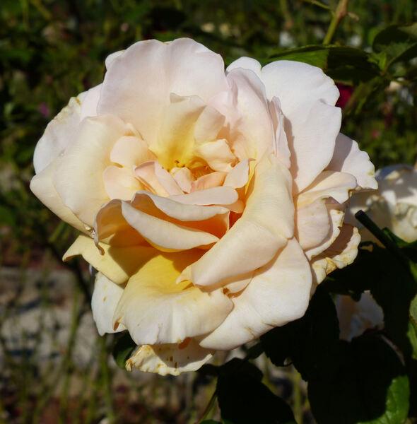 Rosa 'Mary Jean'