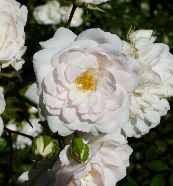 Rosa 'Sea Foam'