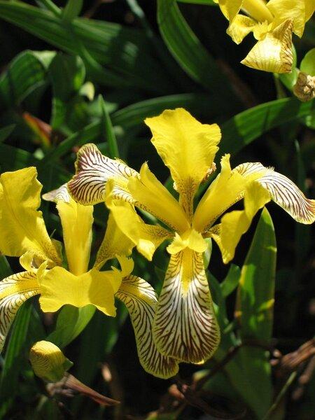 Iris variegata L.