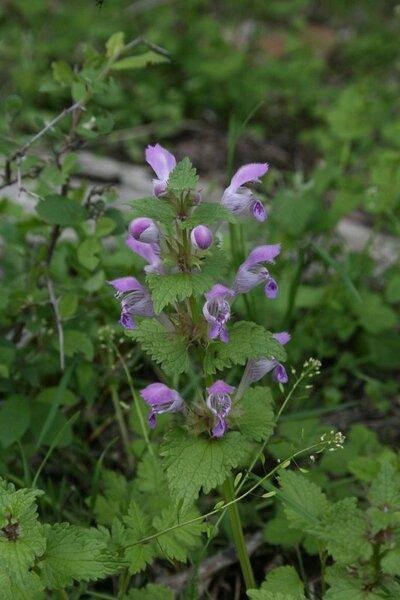 Lamium garganicum L. subsp. garganicum