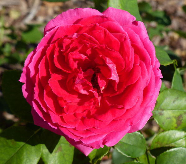 Rosa 'Gloriosa'