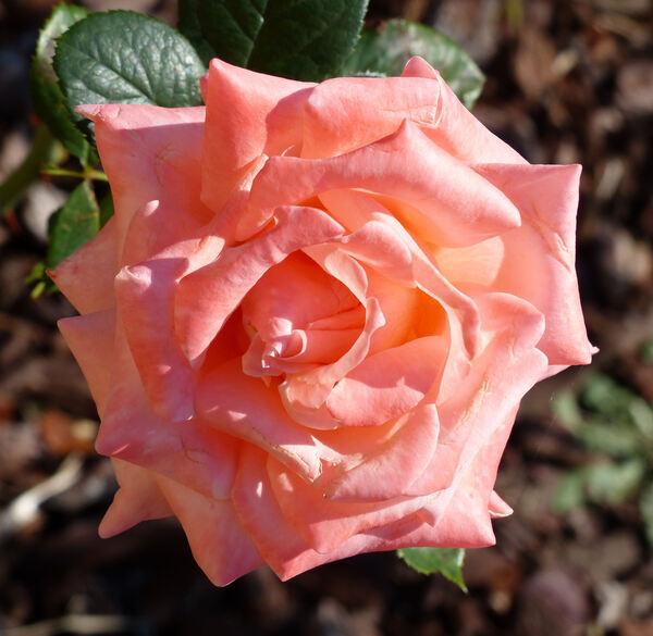 Rosa 'Selvetta ®'
