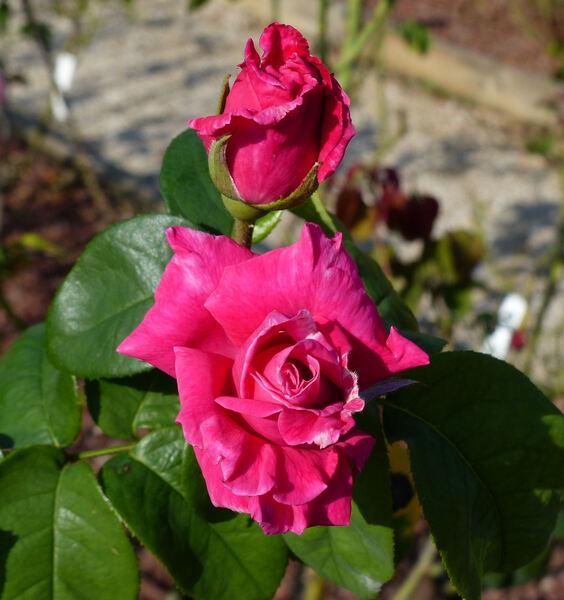 Rosa 'Perfume Delight'