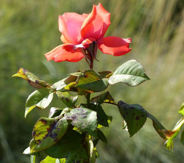 Rosa 'Flipper'