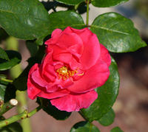 Rosa 'Crêpe de Chine'
