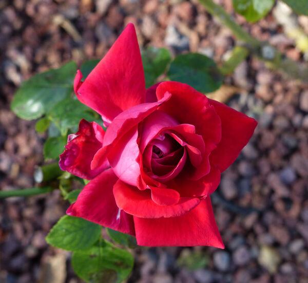 Rosa 'Red Devil'