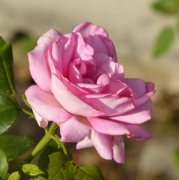 Rosa 'Esmeralda ®'