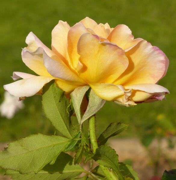 Rosa 'Ramón Bach'