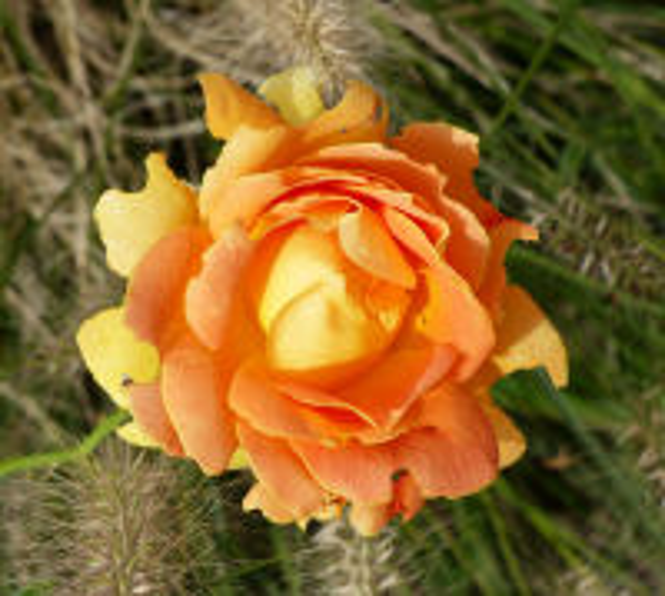 Rosa 'Arlequin ®'