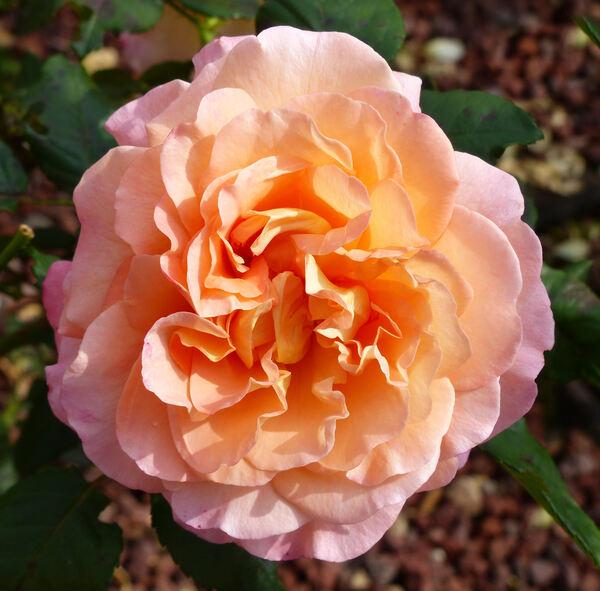 Rosa 'Augusta Luise ®'