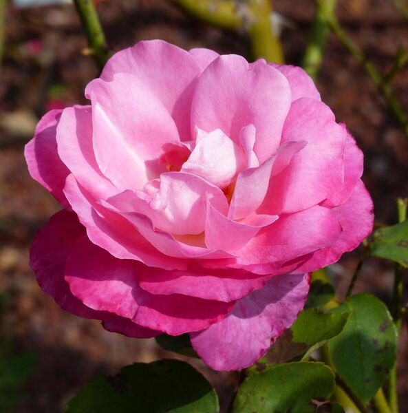Rosa 'Présence'