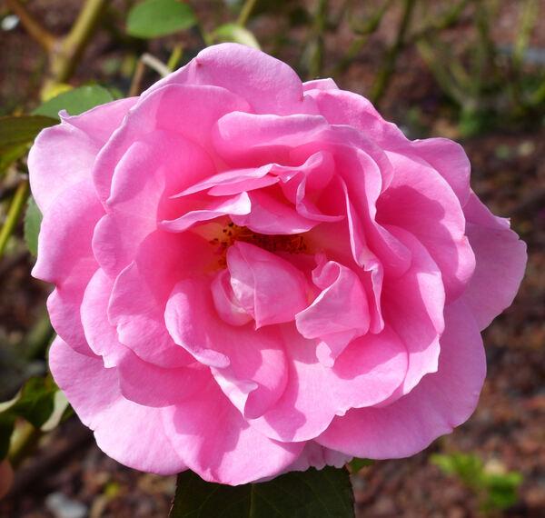 Rosa 'Blithe Spirit'
