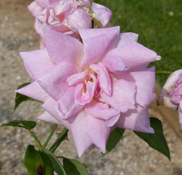 Rosa 'La France'