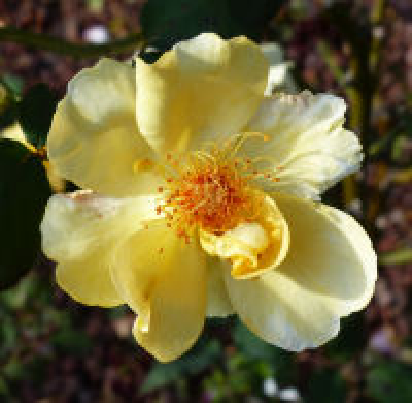 Rosa 'Mikado'